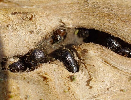 как выглядит жук короед фото